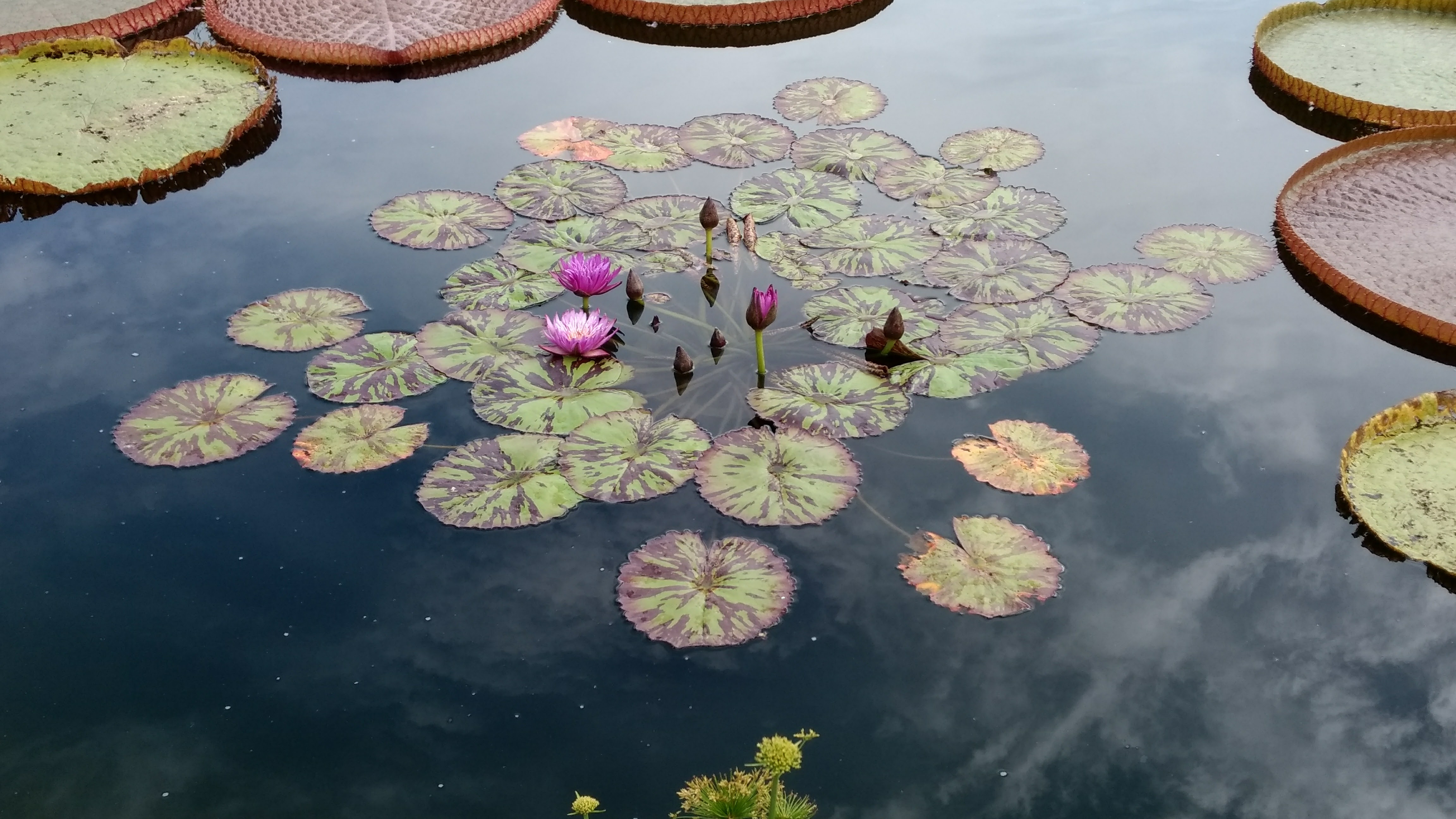 patch of lilly pads and flowers